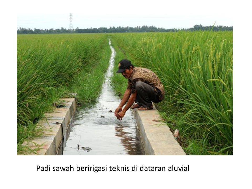 Padi sawah beririgasi teknis di dataran aluvial