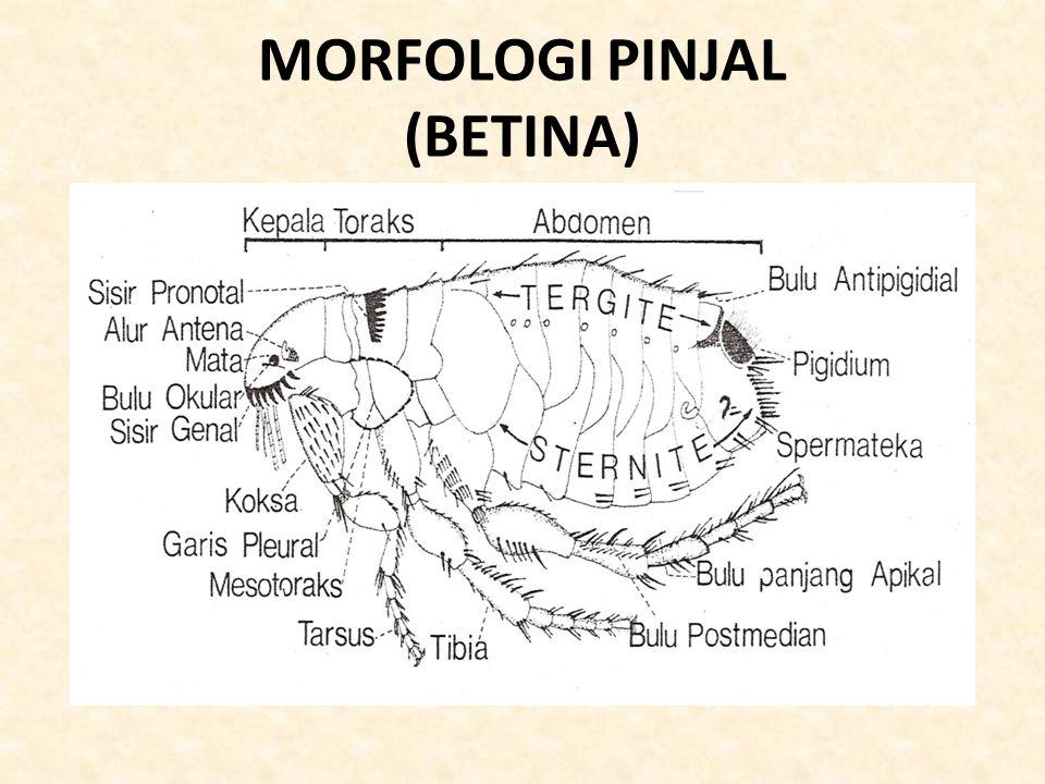 MORFOLOGI PINJAL (BETINA)