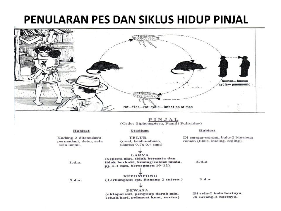 HABITAT Sebagai ektoparasit mamalia terutama tikus rumah ( Ratus ratus diardii ), pinjal X.cheopis banyak ditemukan di daerah pemukiman penduduk baik di kota maupun di pedalaman.