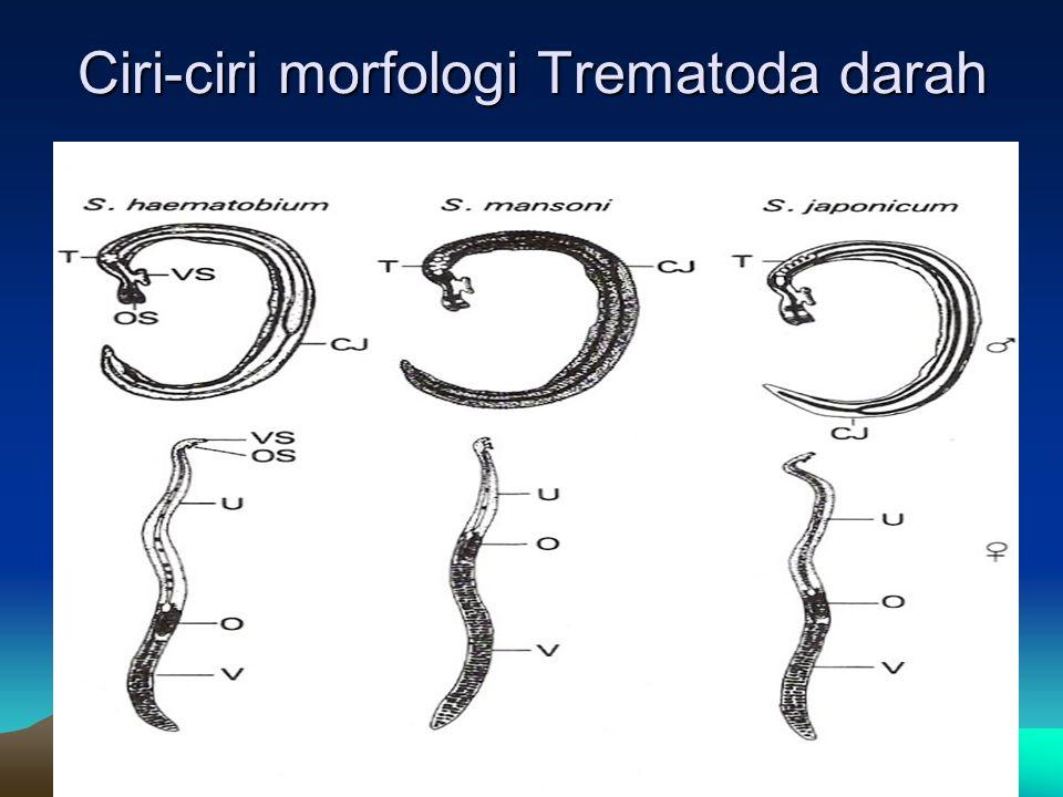 Ciri-ciri morfologi Trematoda darah