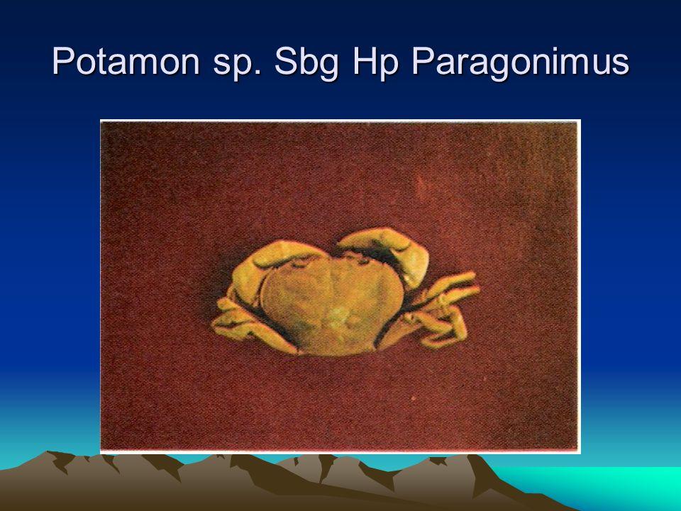 Potamon sp. Sbg Hp Paragonimus