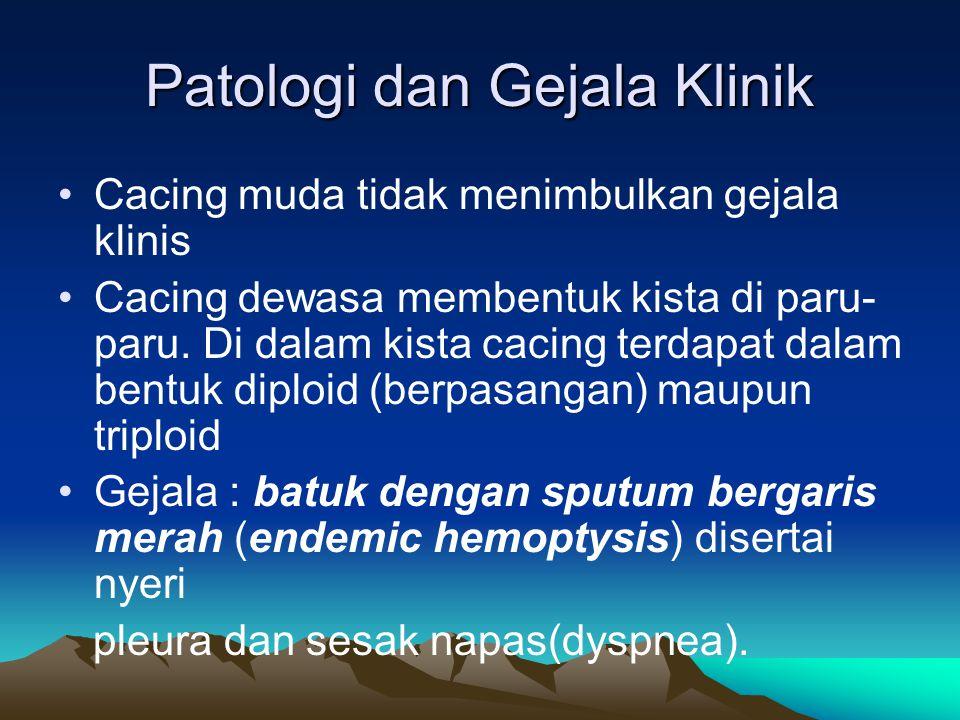 Patologi dan Gejala Klinik Cacing muda tidak menimbulkan gejala klinis Cacing dewasa membentuk kista di paru- paru. Di dalam kista cacing terdapat dal