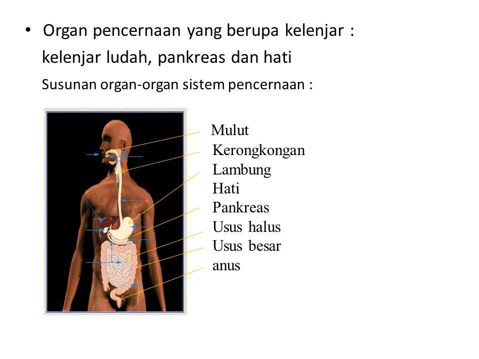 Organ pencernaan yang berupa kelenjar : kelenjar ludah, pankreas dan hati Susunan organ-organ sistem pencernaan : Mulut Kerongkongan Lambung Hati Pankreas Usus halus Usus besar anus