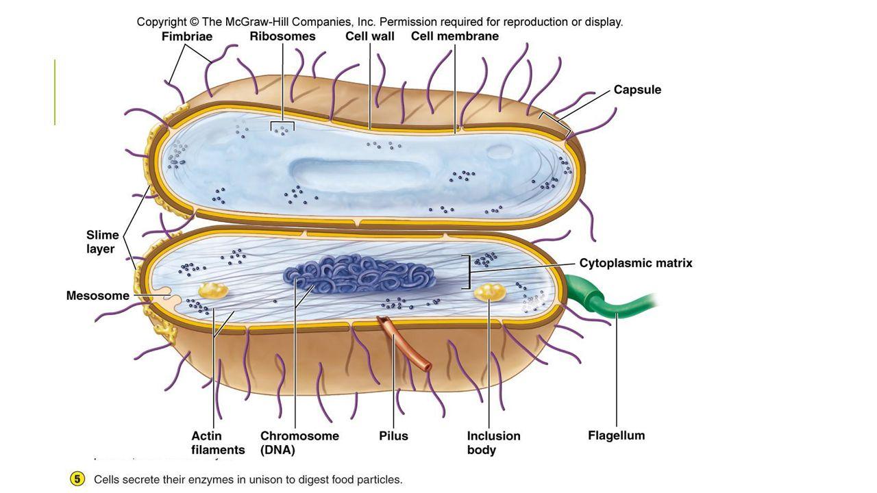 FLAGELUM  Jamak : flagela  Rambut tipis yang mencuat menembus dinding sel dan bermula dari tubuh dasar  Struktur granular  Di bawah membran sel dalam sitoplasma  Berfungsi sebagai alat pergerakan  Diameter : 10-20 nm  Dari subunit protein yang dinamakan flagelin