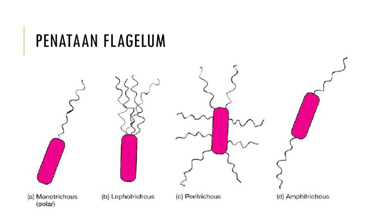 PILI (FIMBRIAE)  Pilus (jamak, pili); fimbria (jamak, fimbriae)  Berukuran lebih kecil, lebih pendek dan lebih banyak dibandingkan flagela  Fungsi : pintu gerbang masuknya bahan genetik selama berlangsungnya perkawinan antar bakteri  Fungsi : alat untuk melekat pada permukaan