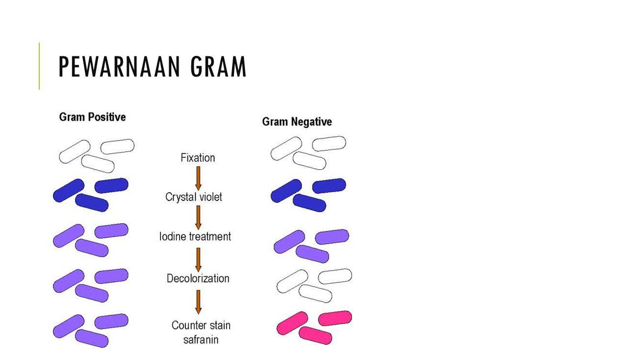 CIRI BAKTERI GRAM + DAN – Gram positifGram negatif Struktur dinding selTebal (15-80 nm) Berlapis tunggal Tipis (10-15 nm) Berlapis tiga komposisiKandungan lipid rendah (1-4%) Peptidoglikan tunggal Kandungan lipid tinggi (11-12%) Peptidoglikan ada di lapisan kaku PenisilinLebih rentanKurang rentan Penghambatan zat warnaPertumbuhan dihambatPertumbuhan tidak begitu dihambat Persyaratan nutrisiRelatif rumitRelatif sederhana Gangguan fisikLebih resistenKurang resisten