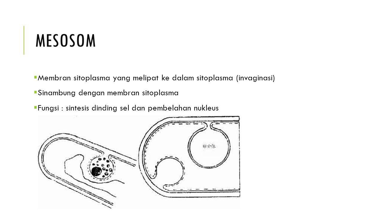 MESOSOM  Membran sitoplasma yang melipat ke dalam sitoplasma (invaginasi)  Sinambung dengan membran sitoplasma  Fungsi : sintesis dinding sel dan p