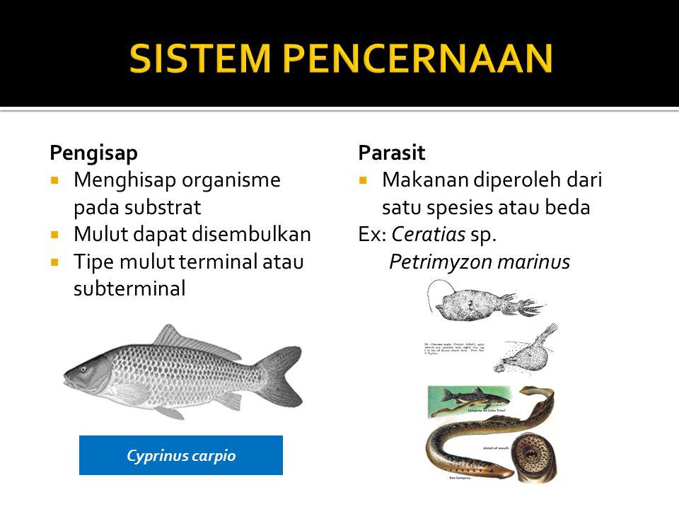 Pengisap  Menghisap organisme pada substrat  Mulut dapat disembulkan  Tipe mulut terminal atau subterminal Parasit  Makanan diperoleh dari satu spesies atau beda Ex: Ceratias sp.