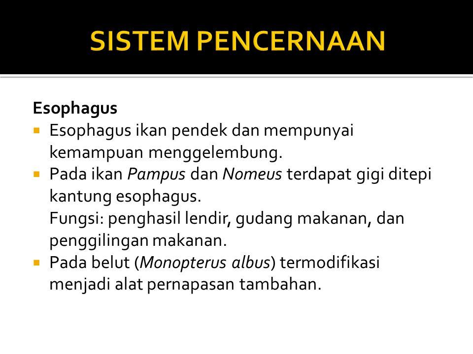 Esophagus  Esophagus ikan pendek dan mempunyai kemampuan menggelembung.