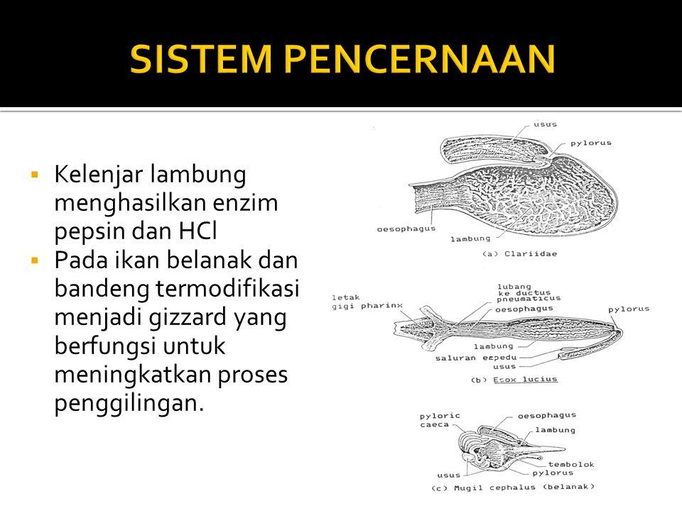  Kelenjar lambung menghasilkan enzim pepsin dan HCl  Pada ikan belanak dan bandeng termodifikasi menjadi gizzard yang berfungsi untuk meningkatkan proses penggilingan.