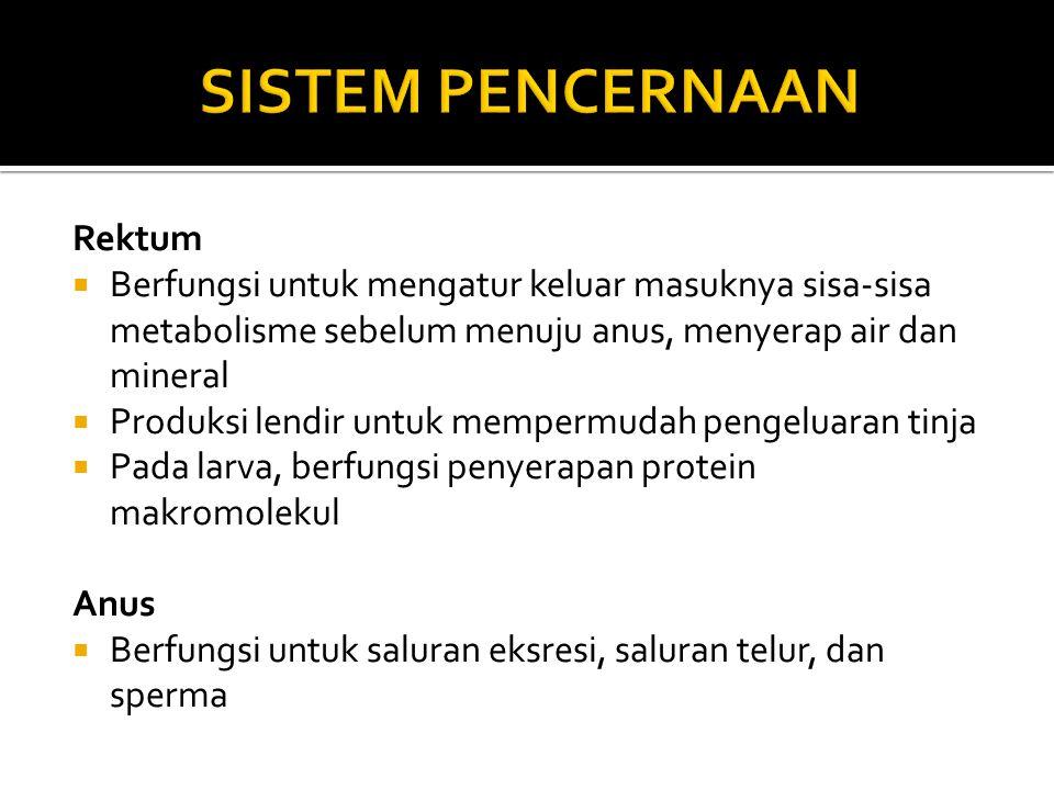 Rektum  Berfungsi untuk mengatur keluar masuknya sisa-sisa metabolisme sebelum menuju anus, menyerap air dan mineral  Produksi lendir untuk mempermudah pengeluaran tinja  Pada larva, berfungsi penyerapan protein makromolekul Anus  Berfungsi untuk saluran eksresi, saluran telur, dan sperma