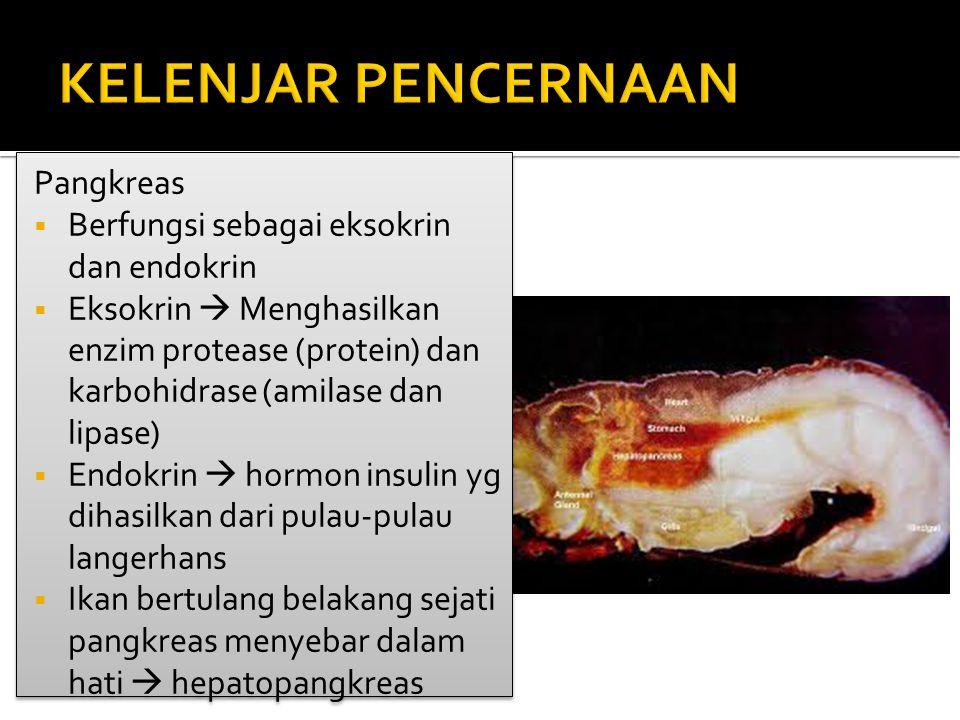 Pangkreas  Berfungsi sebagai eksokrin dan endokrin  Eksokrin  Menghasilkan enzim protease (protein) dan karbohidrase (amilase dan lipase)  Endokrin  hormon insulin yg dihasilkan dari pulau-pulau langerhans  Ikan bertulang belakang sejati pangkreas menyebar dalam hati  hepatopangkreas Pangkreas  Berfungsi sebagai eksokrin dan endokrin  Eksokrin  Menghasilkan enzim protease (protein) dan karbohidrase (amilase dan lipase)  Endokrin  hormon insulin yg dihasilkan dari pulau-pulau langerhans  Ikan bertulang belakang sejati pangkreas menyebar dalam hati  hepatopangkreas