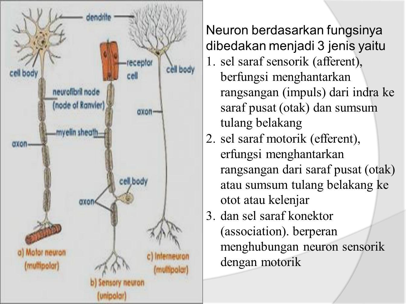 Neuron berdasarkan fungsinya dibedakan menjadi 3 jenis yaitu 1.sel saraf sensorik (afferent), berfungsi menghantarkan rangsangan (impuls) dari indra ke saraf pusat (otak) dan sumsum tulang belakang 2.sel saraf motorik (efferent), erfungsi menghantarkan rangsangan dari saraf pusat (otak) atau sumsum tulang belakang ke otot atau kelenjar 3.dan sel saraf konektor (association).