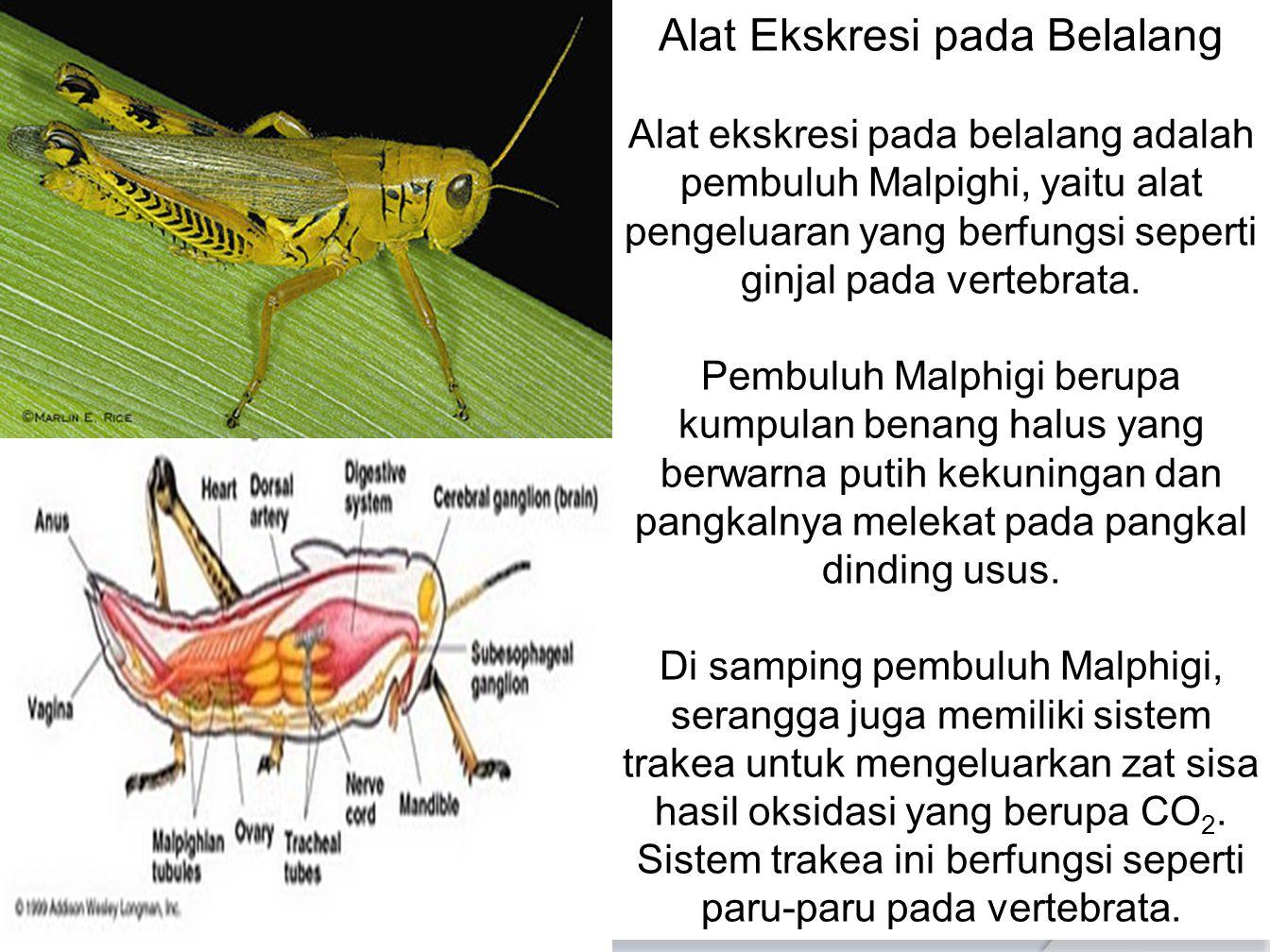 Alat Ekskresi pada Belalang Alat ekskresi pada belalang adalah pembuluh Malpighi, yaitu alat pengeluaran yang berfungsi seperti ginjal pada vertebrata.