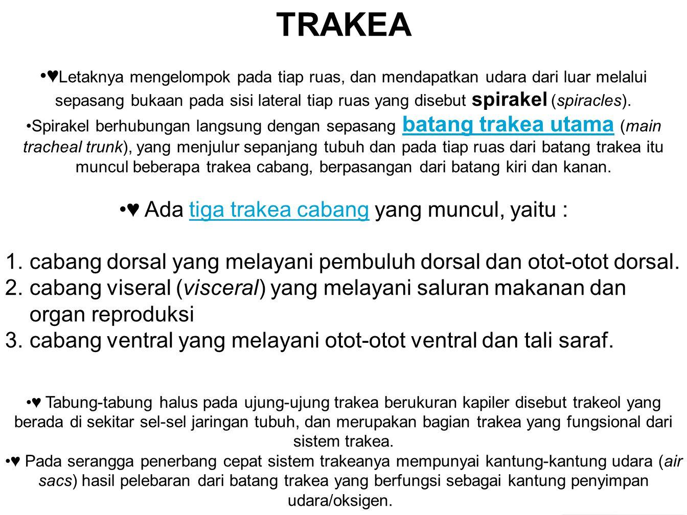 TRAKEA ♥ Letaknya mengelompok pada tiap ruas, dan mendapatkan udara dari luar melalui sepasang bukaan pada sisi lateral tiap ruas yang disebut spirakel (spiracles).