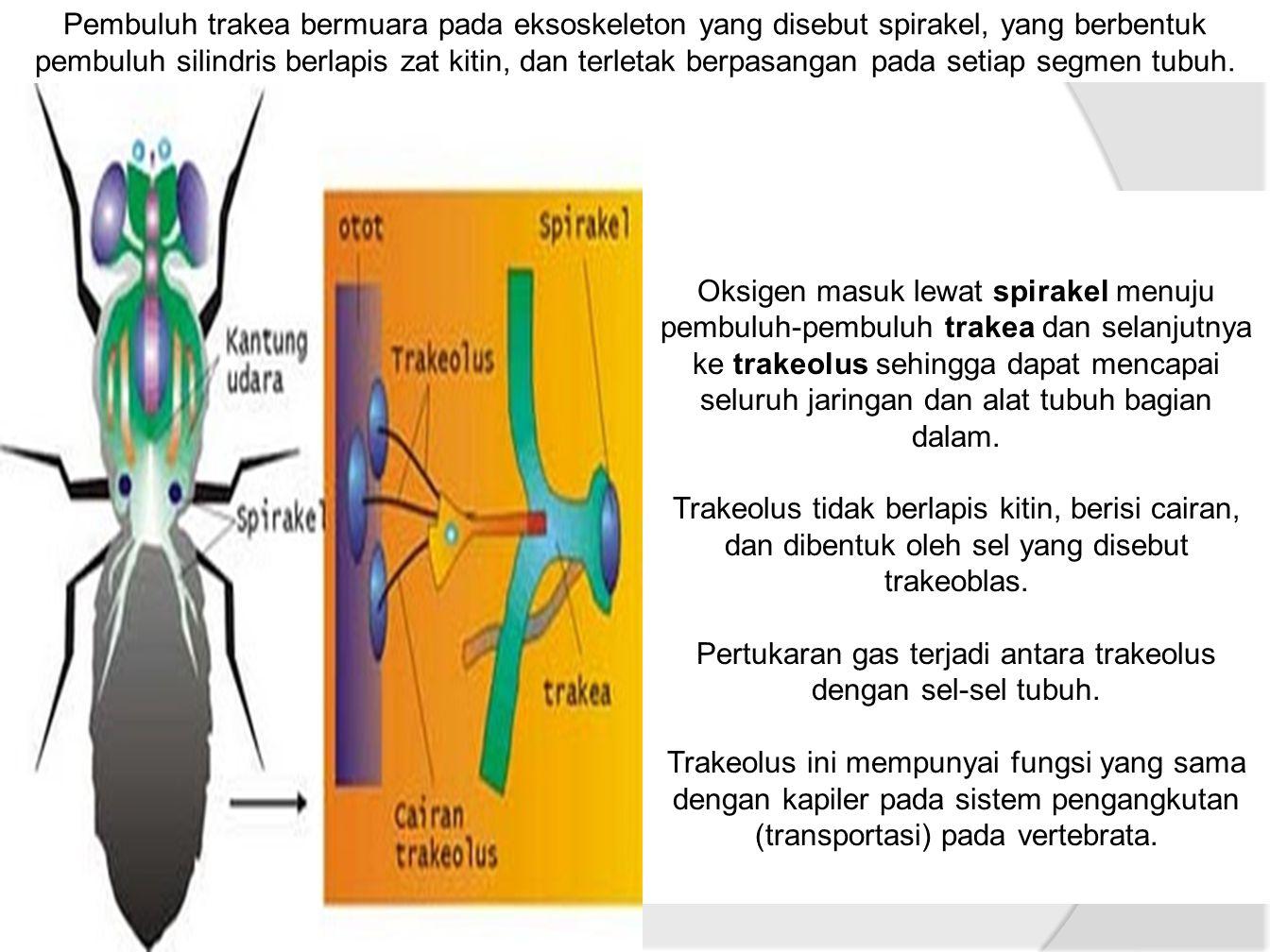 Pembuluh trakea bermuara pada eksoskeleton yang disebut spirakel, yang berbentuk pembuluh silindris berlapis zat kitin, dan terletak berpasangan pada setiap segmen tubuh.