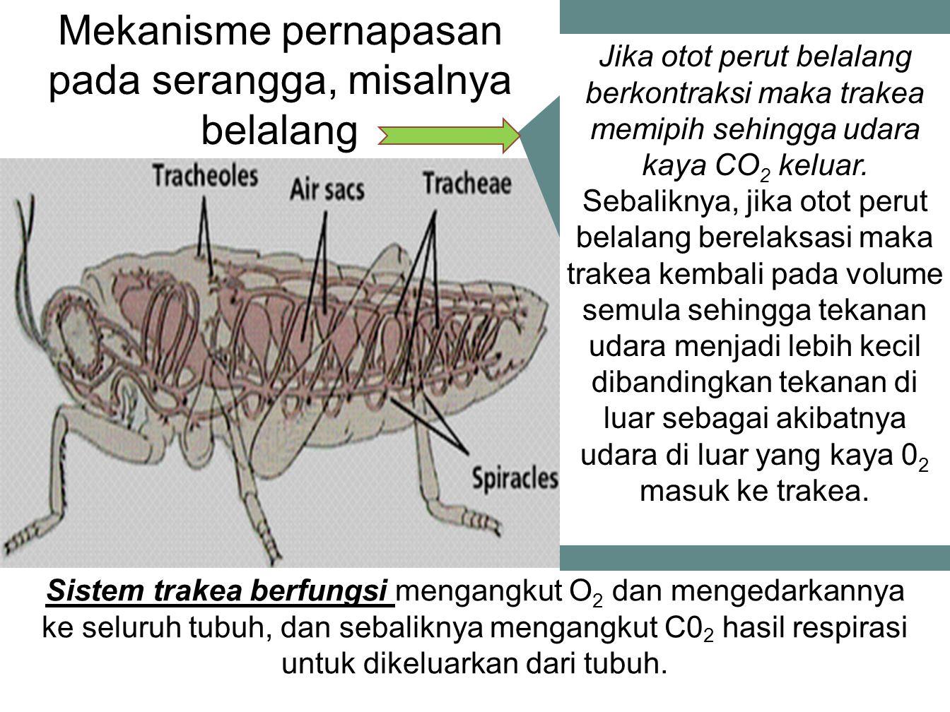 Mekanisme pernapasan pada serangga, misalnya belalang Sistem trakea berfungsi mengangkut O 2 dan mengedarkannya ke seluruh tubuh, dan sebaliknya mengangkut C0 2 hasil respirasi untuk dikeluarkan dari tubuh.