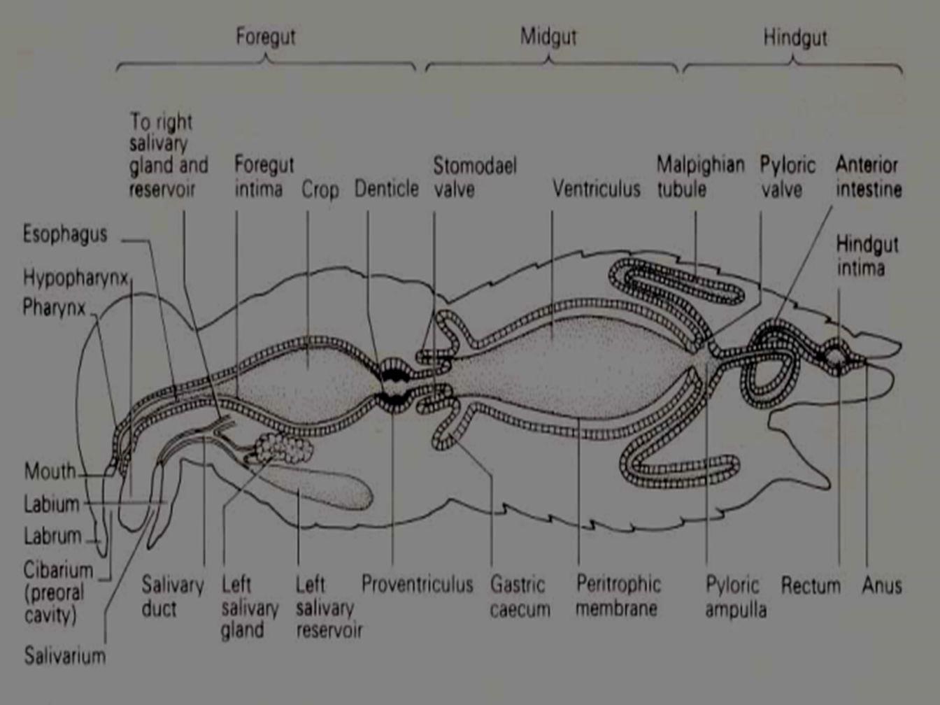 RESPIRASI PADA SERANGGA Ada 3 trachea cabang, yaitu : 1.cabang dorsal yang melayani pembuluh dorsal dan otot-otot dorsal.