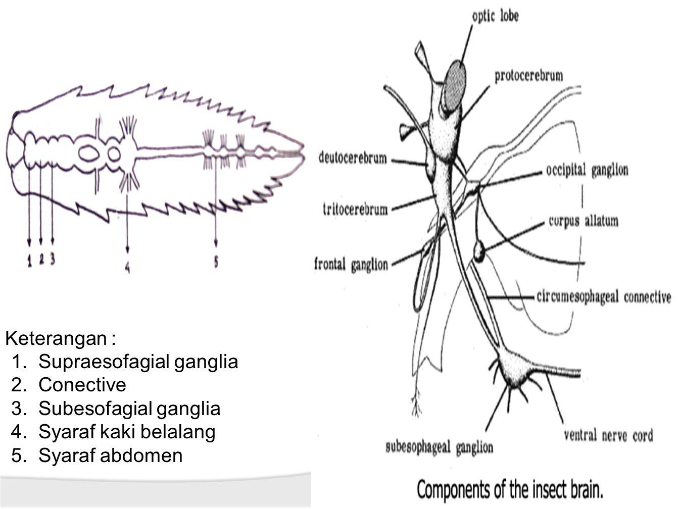 Keterangan : 1.Supraesofagial ganglia 2.Conective 3.Subesofagial ganglia 4.Syaraf kaki belalang 5.Syaraf abdomen
