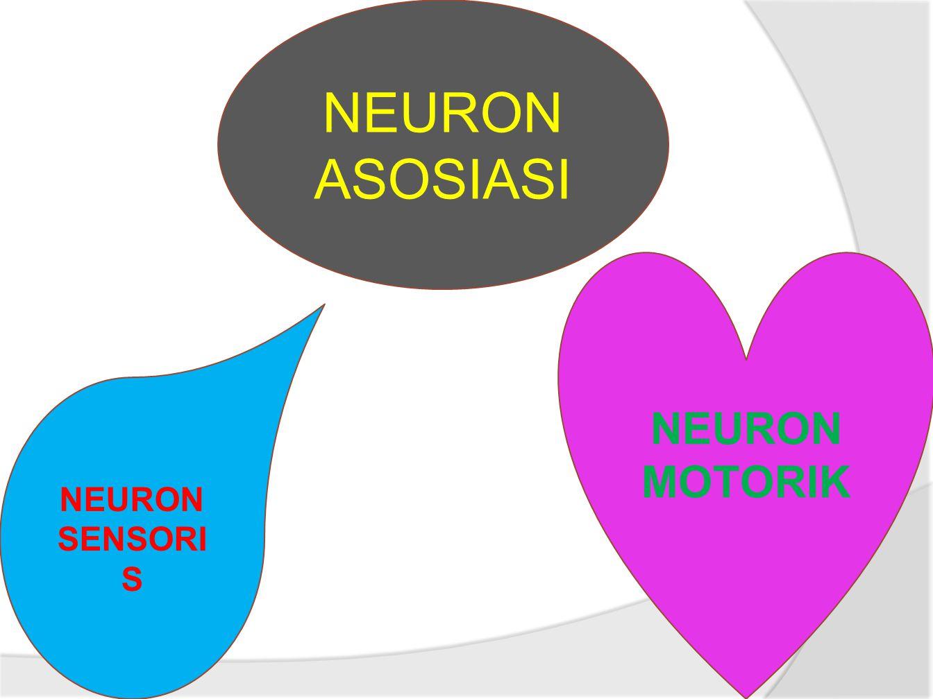 NEURON ASOSIASI NEURON SENSORI S NEURON MOTORIK
