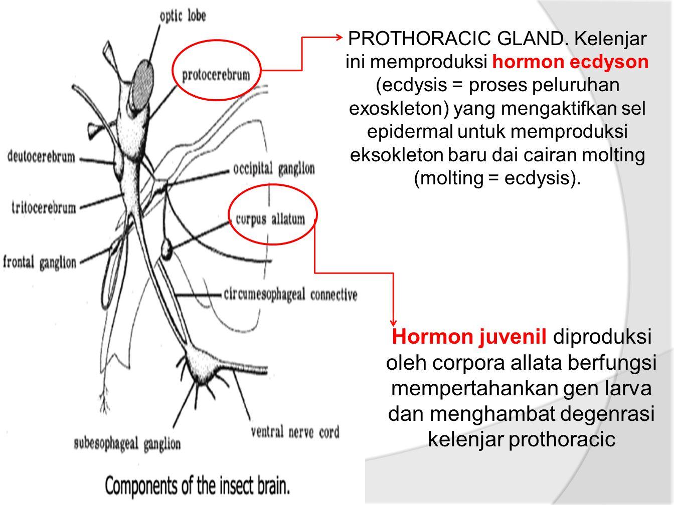 Hormon juvenil diproduksi oleh corpora allata berfungsi mempertahankan gen larva dan menghambat degenrasi kelenjar prothoracic PROTHORACIC GLAND.