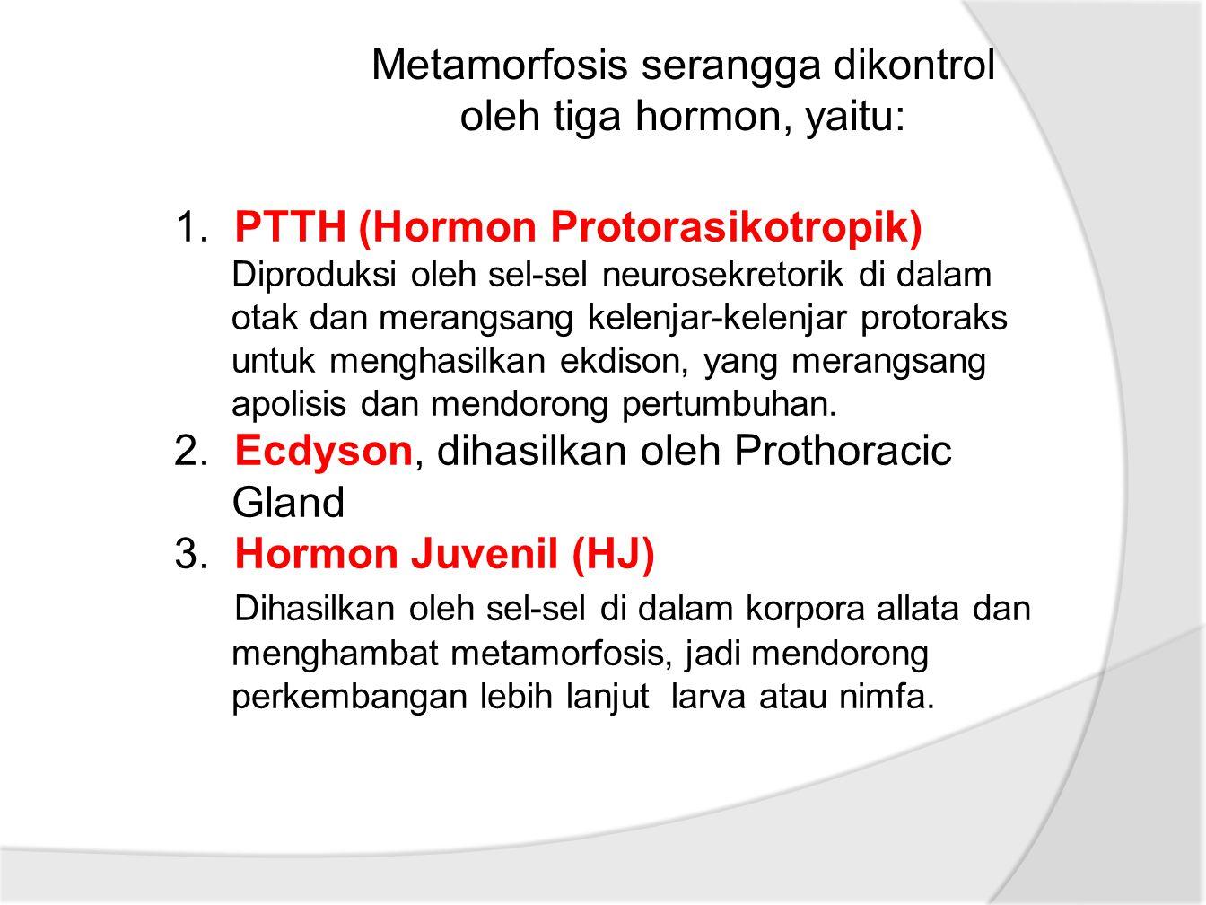 1. PTTH (Hormon Protorasikotropik) Diproduksi oleh sel-sel neurosekretorik di dalam otak dan merangsang kelenjar-kelenjar protoraks untuk menghasilkan