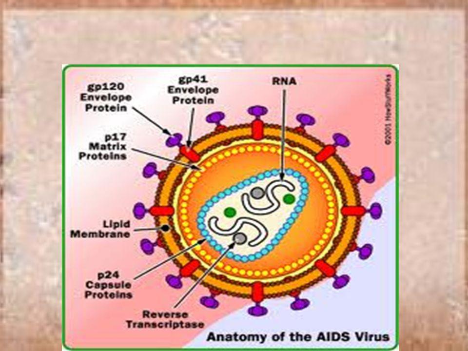 AIDS Penyebab : HIV ( human immunodeficiency virus) Virus ini akan masuk ke dalam darah lalu akan menghancurkan sel darah putih T4 yang menjaga sistem