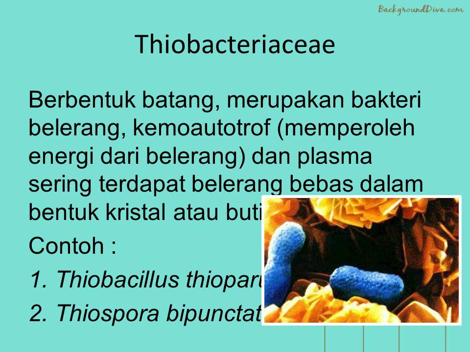 Thiobacteriaceae Berbentuk batang, merupakan bakteri belerang, kemoautotrof (memperoleh energi dari belerang) dan plasma sering terdapat belerang bebas dalam bentuk kristal atau butir-butir.