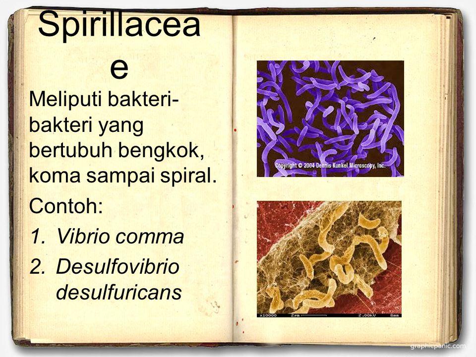 Spirillacea e Meliputi bakteri- bakteri yang bertubuh bengkok, koma sampai spiral.