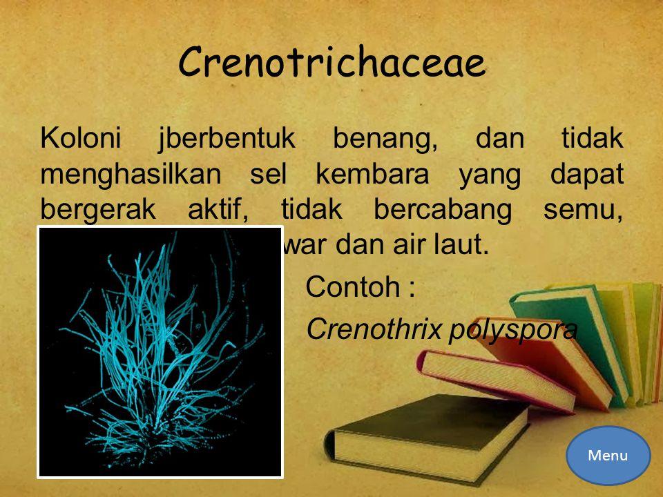 Crenotrichaceae Koloni jberbentuk benang, dan tidak menghasilkan sel kembara yang dapat bergerak aktif, tidak bercabang semu, habitatnya di air tawar dan air laut.