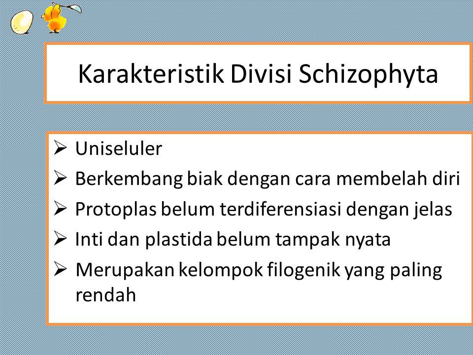 Karakteristik Divisi Schizophyta  Uniseluler  Berkembang biak dengan cara membelah diri  Protoplas belum terdiferensiasi dengan jelas  Inti dan plastida belum tampak nyata  Merupakan kelompok filogenik yang paling rendah