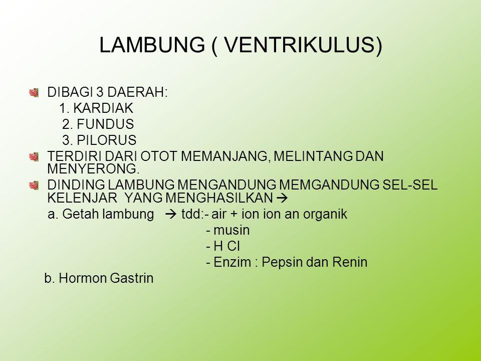 LAMBUNG ( VENTRIKULUS) DIBAGI 3 DAERAH: 1. KARDIAK 2. FUNDUS 3. PILORUS TERDIRI DARI OTOT MEMANJANG, MELINTANG DAN MENYERONG. DINDING LAMBUNG MENGANDU