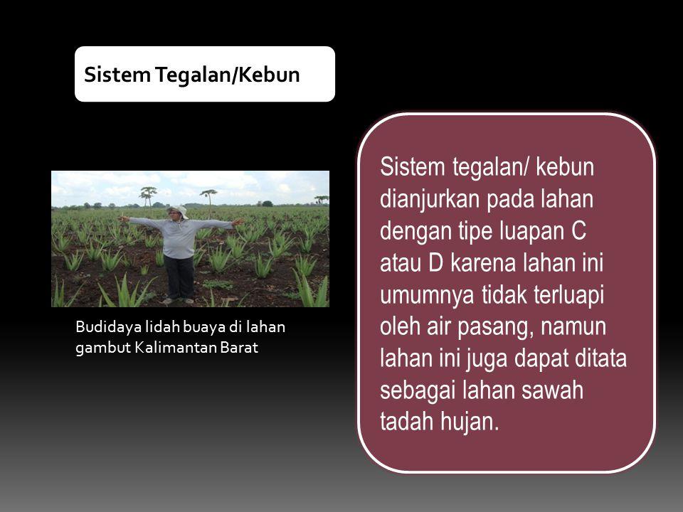 Budidaya lidah buaya di lahan gambut Kalimantan Barat Sistem tegalan/ kebun dianjurkan pada lahan dengan tipe luapan C atau D karena lahan ini umumnya
