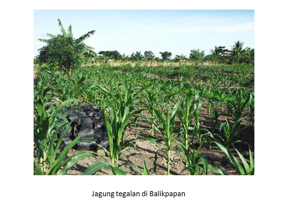 Jagung tegalan di Balikpapan