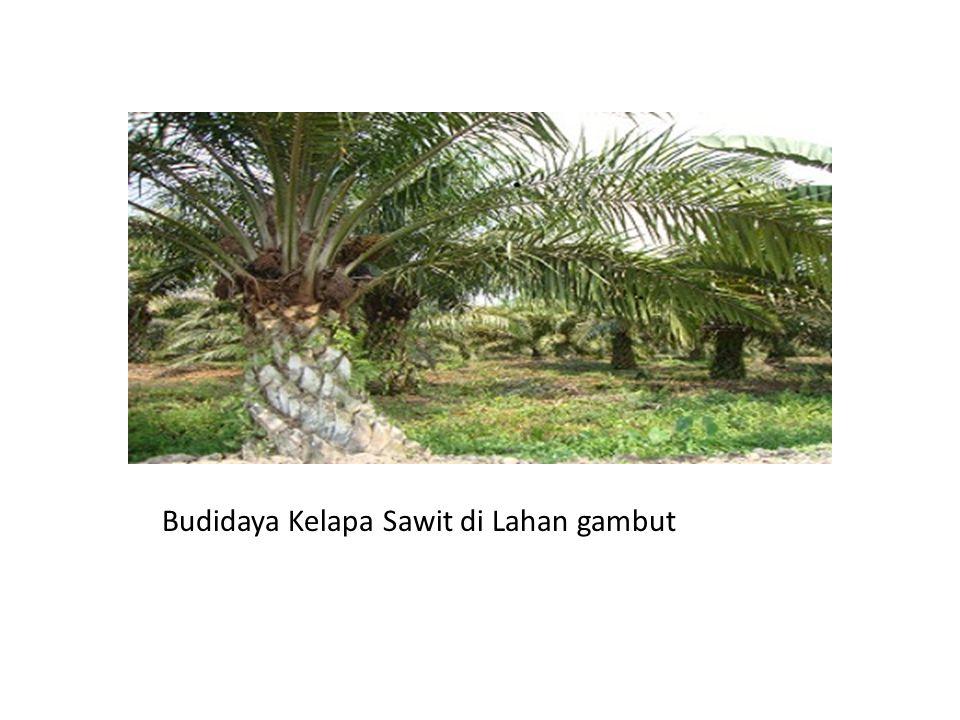 Budidaya Kelapa Sawit di Lahan gambut