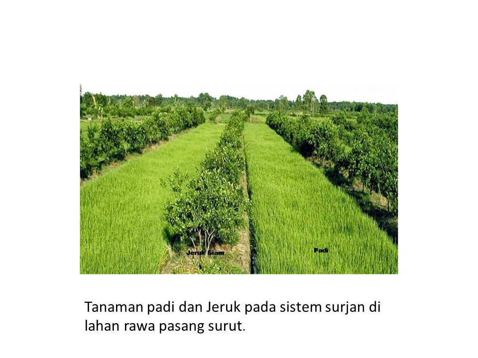 Tanaman padi dan Jeruk pada sistem surjan di lahan rawa pasang surut.