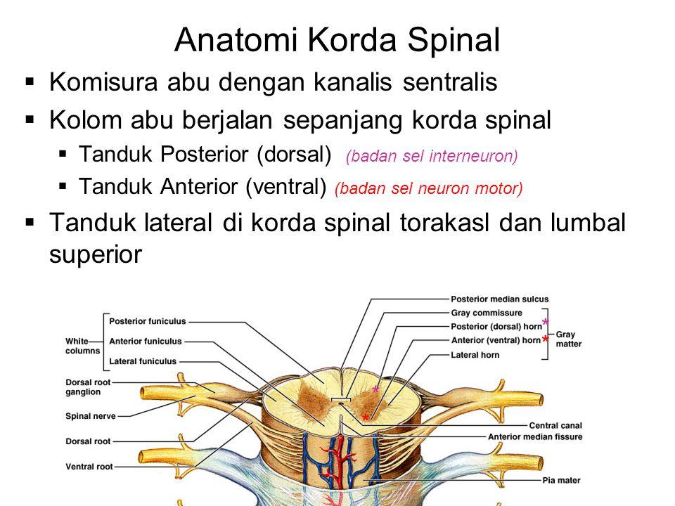 Anatomi Korda Spinal  Komisura abu dengan kanalis sentralis  Kolom abu berjalan sepanjang korda spinal  Tanduk Posterior (dorsal) (badan sel intern