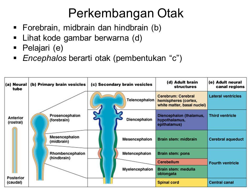 """Perkembangan Otak  Forebrain, midbrain dan hindbrain (b)  Lihat kode gambar berwarna (d)  Pelajari (e)  Encephalos berarti otak (pembentukan """"c"""")"""