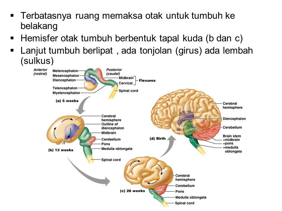  Terbatasnya ruang memaksa otak untuk tumbuh ke belakang  Hemisfer otak tumbuh berbentuk tapal kuda (b dan c)  Lanjut tumbuh berlipat, ada tonjolan