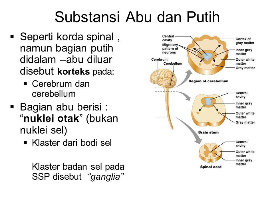 Substansi Abu dan Putih  Seperti korda spinal, namun bagian putih didalam –abu diluar disebut korteks pada:  Cerebrum dan cerebellum  Bagian abu berisi : nuklei otak (bukan nuklei sel)  Klaster dari bodi sel Klaster badan sel pada SSP disebut ganglia