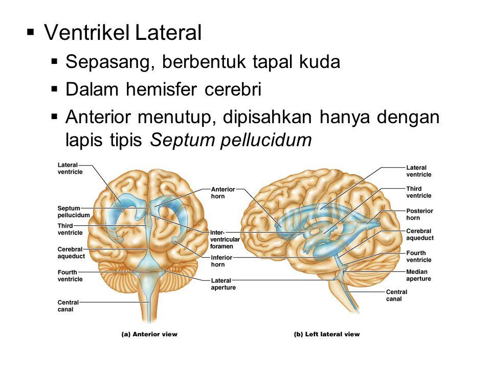  Ventrikel Lateral  Sepasang, berbentuk tapal kuda  Dalam hemisfer cerebri  Anterior menutup, dipisahkan hanya dengan lapis tipis Septum pellucidu