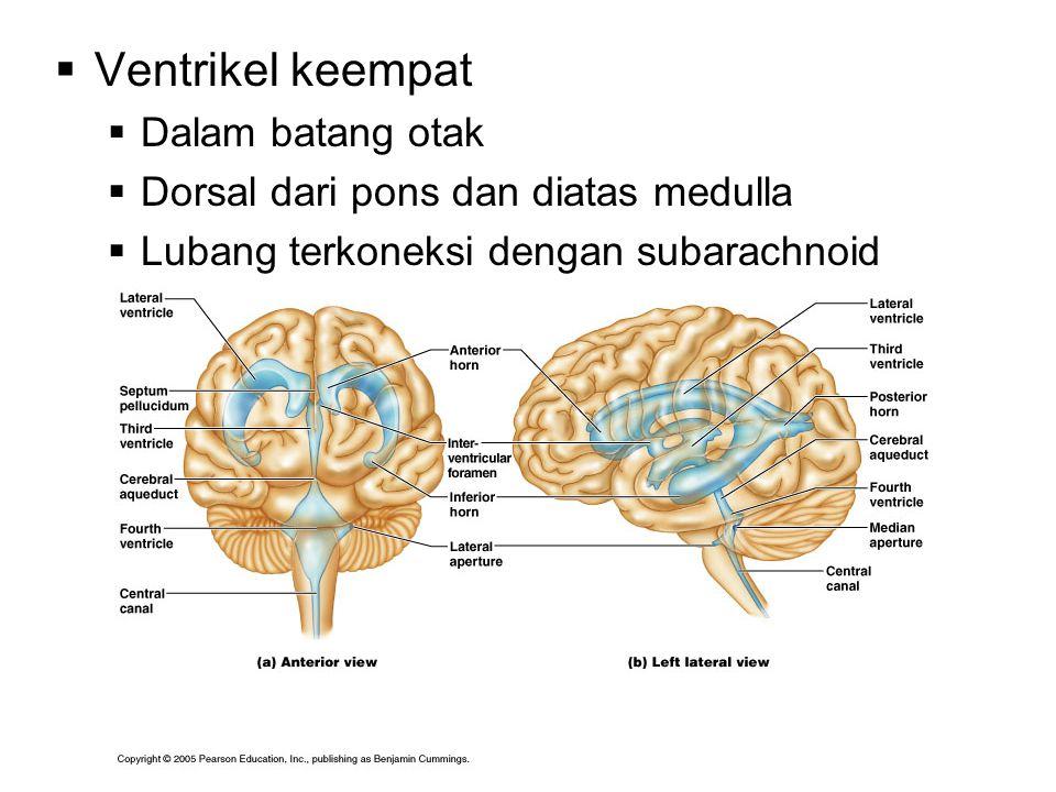  Ventrikel keempat  Dalam batang otak  Dorsal dari pons dan diatas medulla  Lubang terkoneksi dengan subarachnoid space