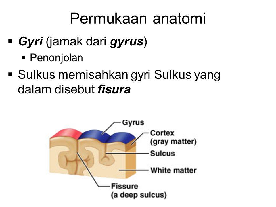 Permukaan anatomi  Gyri (jamak dari gyrus)  Penonjolan  Sulkus memisahkan gyri Sulkus yang dalam disebut fisura