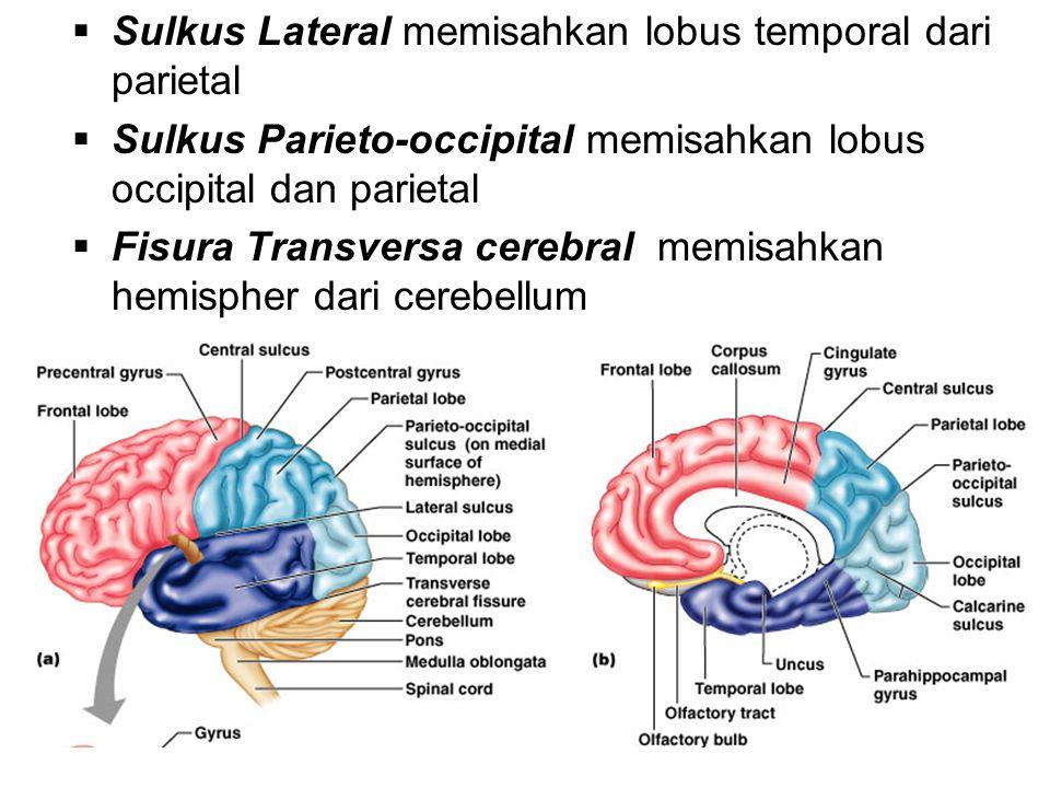  Sulkus Lateral memisahkan lobus temporal dari parietal  Sulkus Parieto-occipital memisahkan lobus occipital dan parietal  Fisura Transversa cerebral memisahkan hemispher dari cerebellum