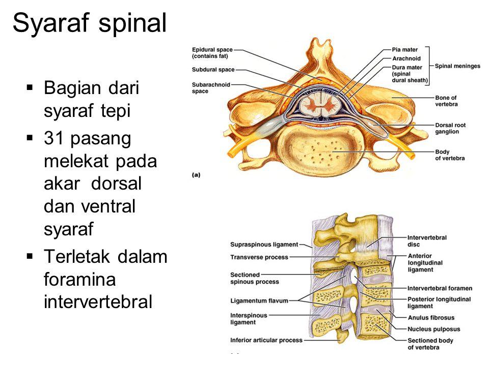 Syaraf spinal  Bagian dari syaraf tepi  31 pasang melekat pada akar dorsal dan ventral syaraf  Terletak dalam foramina intervertebral