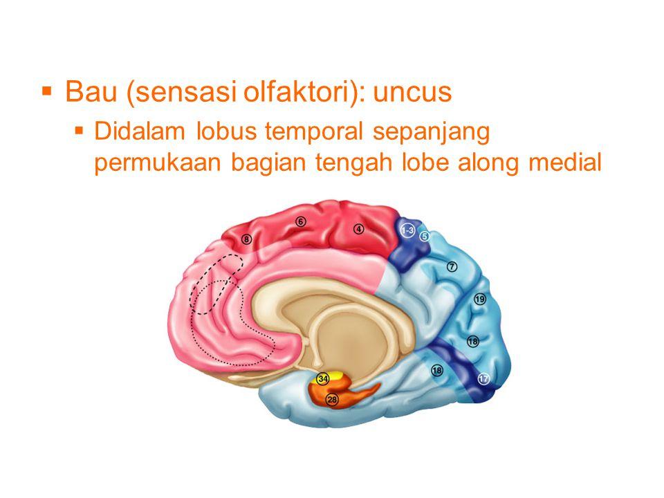  Bau (sensasi olfaktori): uncus  Didalam lobus temporal sepanjang permukaan bagian tengah lobe along medial surface