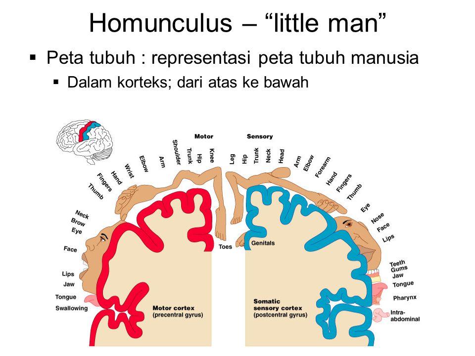 """Homunculus – """"little man""""  Peta tubuh : representasi peta tubuh manusia  Dalam korteks; dari atas ke bawah"""