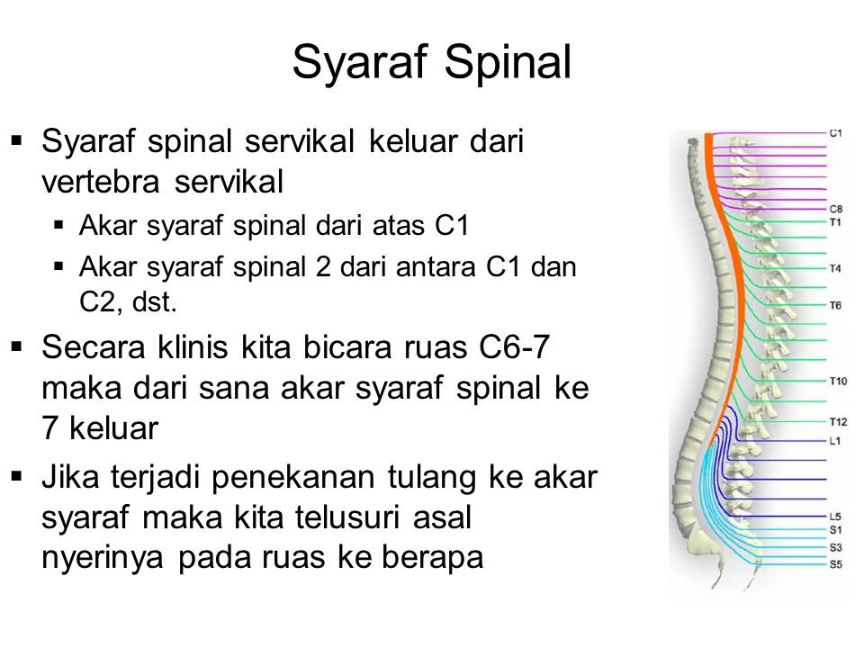 Syaraf Spinal  Syaraf spinal servikal keluar dari vertebra servikal  Akar syaraf spinal dari atas C1  Akar syaraf spinal 2 dari antara C1 dan C2, dst.