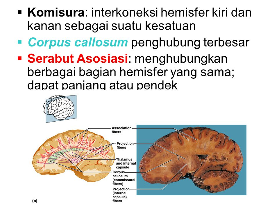  Komisura: interkoneksi hemisfer kiri dan kanan sebagai suatu kesatuan  Corpus callosum penghubung terbesar  Serabut Asosiasi: menghubungkan berbagai bagian hemisfer yang sama; dapat panjang atau pendek