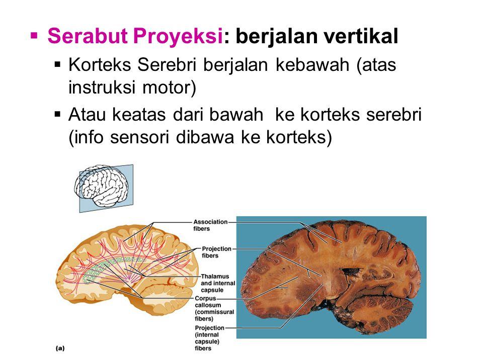  Serabut Proyeksi: berjalan vertikal  Korteks Serebri berjalan kebawah (atas instruksi motor)  Atau keatas dari bawah ke korteks serebri (info sensori dibawa ke korteks)